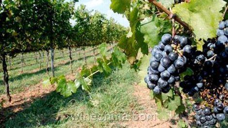 密苏里河沿岸种植了葡萄树,使其成为美国最古老的葡萄种植地区.