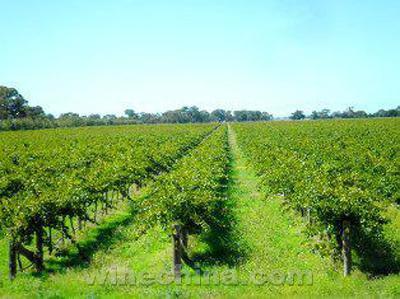 墨尔本近郊葡萄园