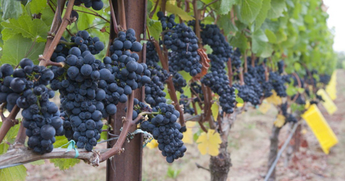 Auction to Put Oregon Pinot Centre Stage