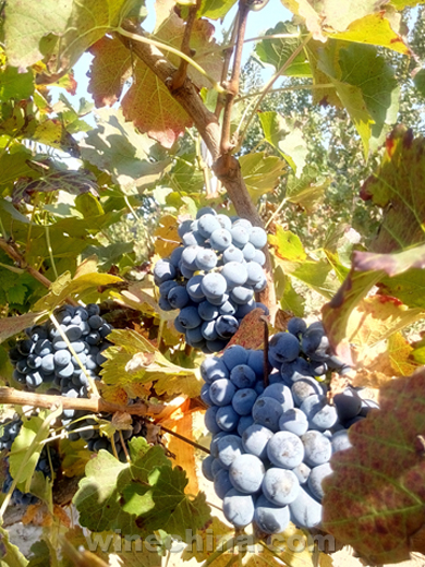Video:2015 Vineyard Report (6) Grape Harvest in Changli,Huailai and Xinjiang Regions
