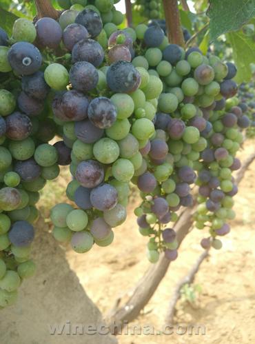 金士酒庄2015年份酿酒葡萄成长史