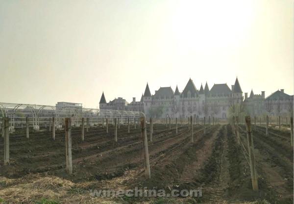 2016 Vineyard Report(4) Tian Jin Region:Vines tied to lines