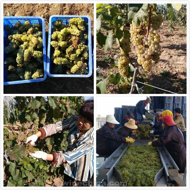 2016葡萄园报告(28)北京及沙城产区:河北怀来、北京房山陆续开始采收