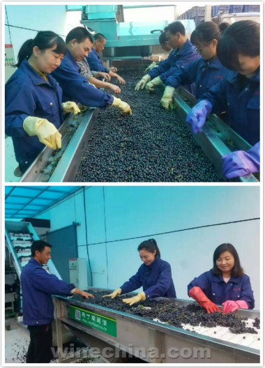 2016葡萄园报告(27)北京及延怀河谷产区:河北怀来、北京房山陆续开始采收