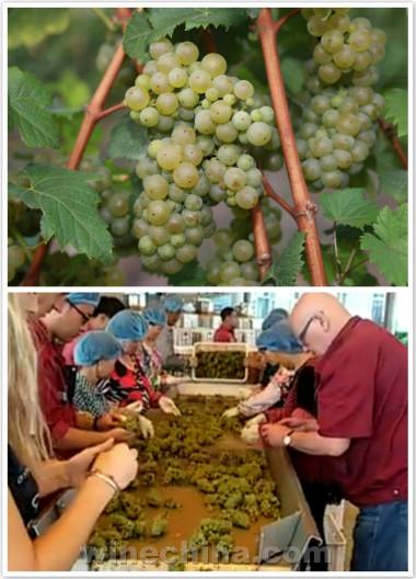 2016葡萄园报告(29)胶东产区:白葡萄采收进行中,红葡萄大规模采收尚未开始