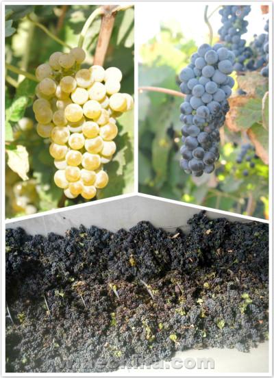 2016葡萄园报告(30)河西走廊产区:葡萄成熟度好 今年品质突出