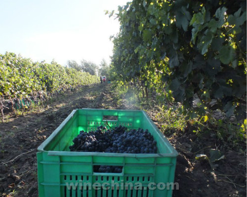 2016葡萄园报告(31)贺兰山东麓产区红葡萄进入采收期