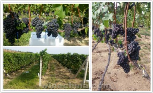 2016葡萄园报告(32)东北产区:辽东半岛葡萄采收基本结束