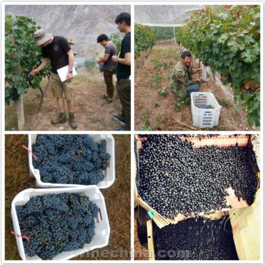 2016葡萄园报告(33)其它产区:各地葡萄采收忙,喜迎新榨季!