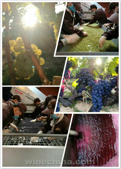 2016葡萄园报告(36)秦皇岛产区:大面积葡萄采收开始