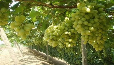 甘肃多措并举推进葡萄酒产业发展