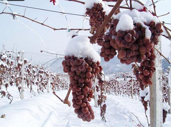 2016集安鸭绿江河谷冰葡萄酒节即将开幕