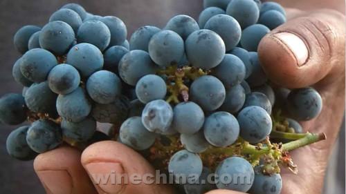 首届马瑟兰节即将在秦皇岛金士酒庄举办
