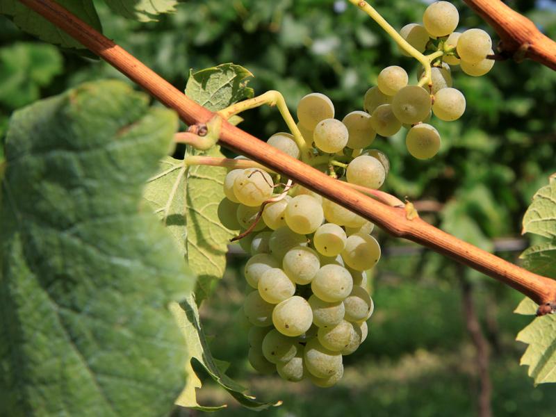 这些中国常见酿酒葡萄品种,你都知道吗?