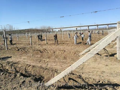 葡萄园报告(2)房山产区:葡萄出土期早于往年