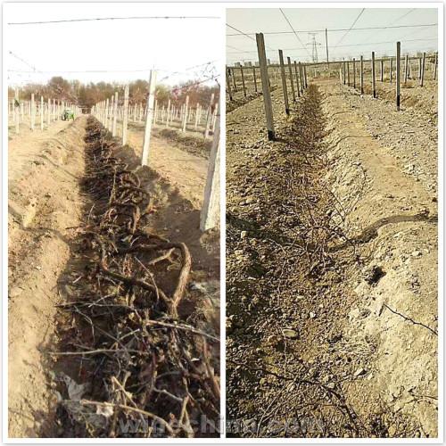 2017葡萄园报告(4)吐哈盆地:春分之后 出土之时