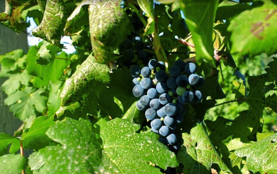 乡都:一支有生命的葡萄酒