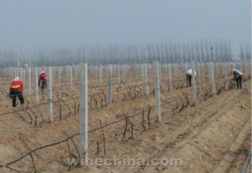 清明过后,贺兰山东麓产区的酿酒葡萄经过了一冬蛰伏,在未来1-2周的时间里陆续出土,破土展藤,开始新一年的生长周期。