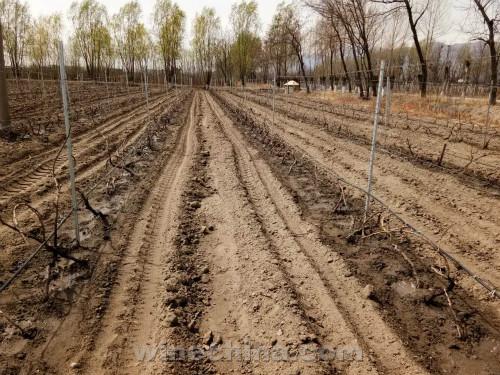 2017葡萄园报告(8)贺兰山东麓产区:破土而出 迎风展藤