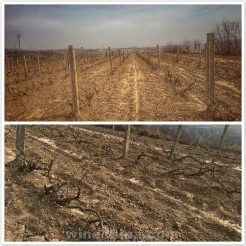 2017葡萄园报告(9)其它产区:春来天暖迎来葡萄藤出土