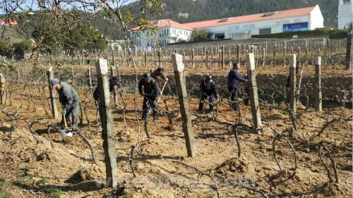 2017 Vineyard Report:Jiaodong region