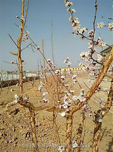 2017Vineyard Report Turpan-Hami basin:It's time to debury vines after the spring equinox