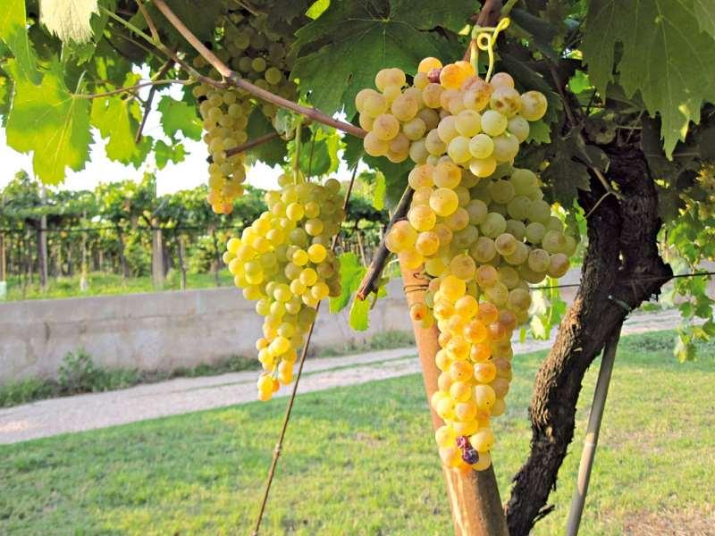 苏瓦韦:白葡萄酒的下一站?