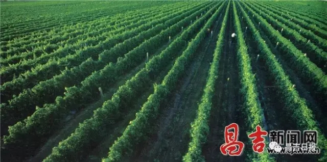 昌吉州推出葡萄酒产业发展十年规划 努力打造新疆一流的葡萄酒产区