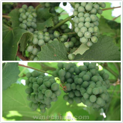 2017葡萄园报告(19)其它产区:各地酿酒葡萄长势良好