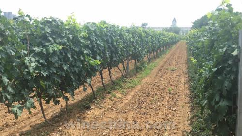 2017葡萄园报告(21)胶东产区:普遍干旱,但或许是个好年份