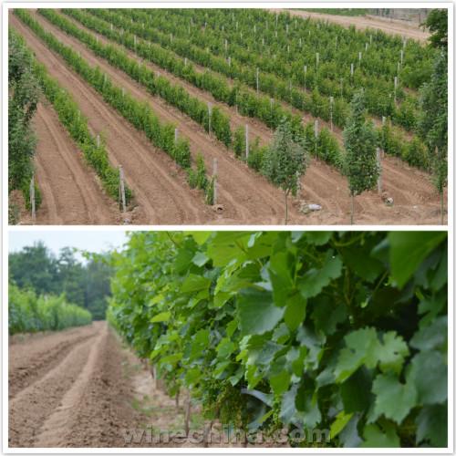 2017葡萄园报告(22)贺兰山东麓产区:酿酒葡萄进入闭穗期