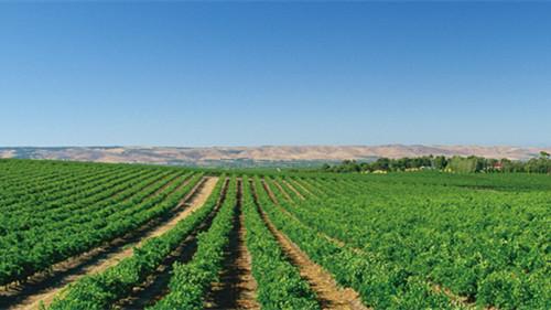 新疆玛纳斯葡萄种植户实现持续增收,创造可观收入