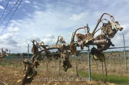 2017法国葡萄酒产量将创历史新低
