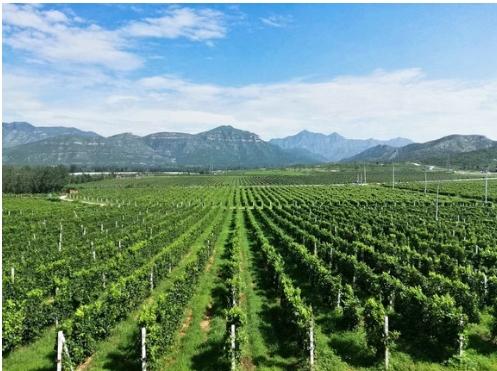 生命湖赠园O.I.V.:房山葡萄酒产业放眼未来