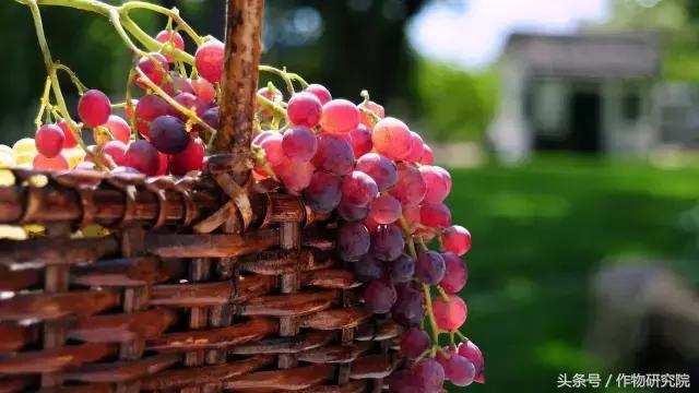 中国6大葡萄主产区分析