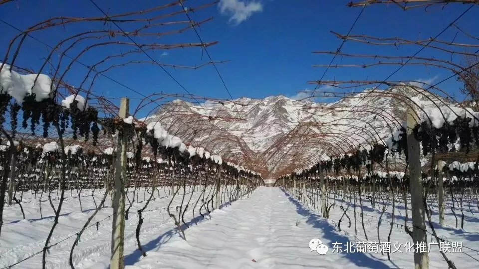长白山集安产区:情迷山葡萄,醉美北冰红