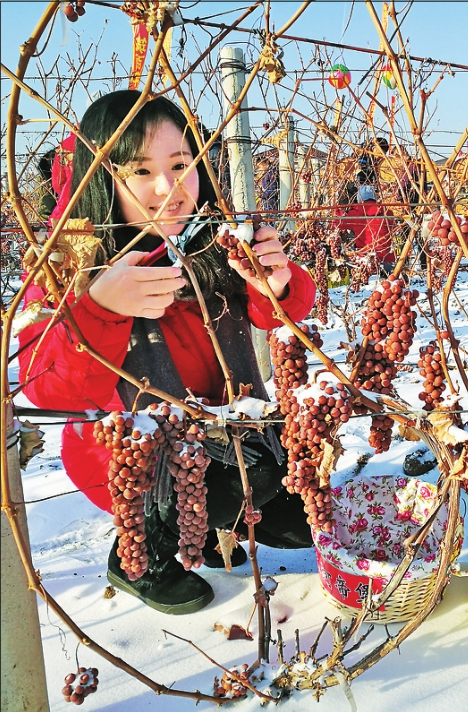 东宁发展葡萄种植面积7300亩