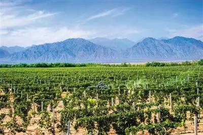 银川新增酿酒葡萄种植基地6000亩