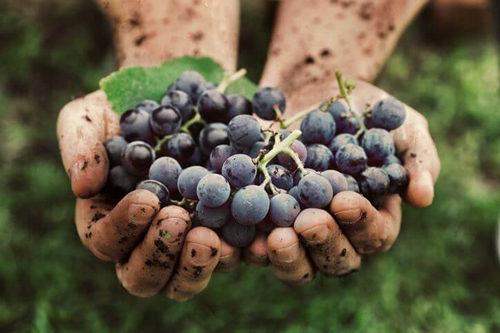 土壤学和土壤生态学如何影响葡萄栽培