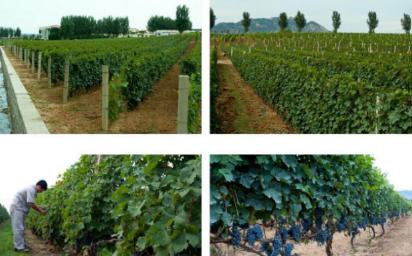 吴剑波打造昌黎葡萄商城,助力传统葡萄产业结构转型升级