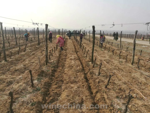 2018葡萄园报告(3)胶东产区:一年之计在于春!
