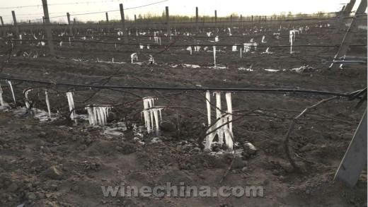 2018葡萄园报告(5)清明期间遇倒春寒 宁夏部分葡萄园受晚霜影响