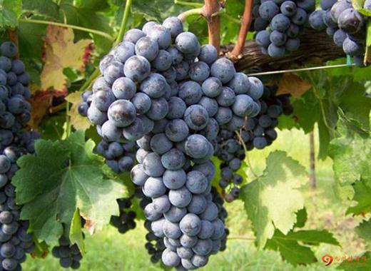 八一八中国那些独具特色的葡萄品种