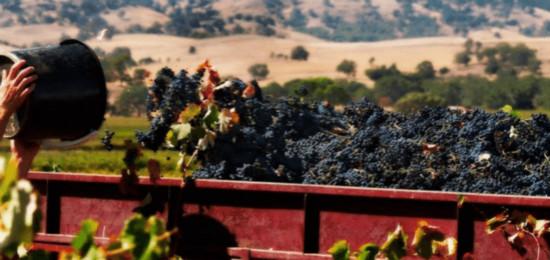 Bad weather Hammers Barossa Harvest_Wine News_Global