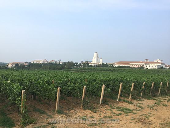 2019年葡萄园报告(16)胶东产区:老天作美 坐果较理想
