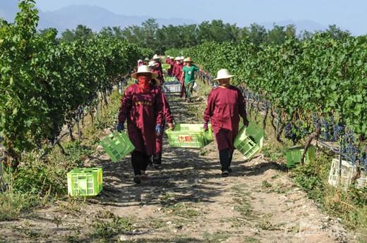 央视直播中国:贺兰山东麓葡萄喜丰收,葡萄飘香酿琼浆