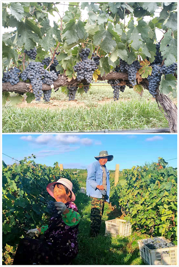 2019年葡萄园报告(44)胶东产区:白葡萄榨季到来 欣喜好年份