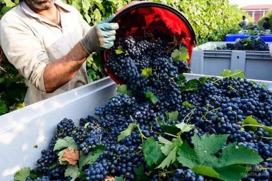 北半球主要葡萄产区收成一览:勃艮第产量大幅下降,香槟区预计可酿造3,06亿瓶香槟