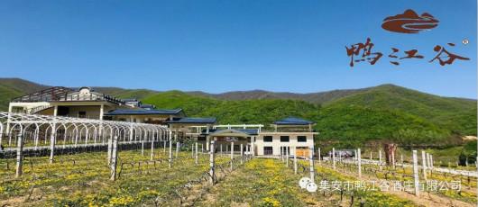 2020年鸭江谷葡萄园报告第一期:向上生长!