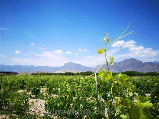 2020葡萄园报告(29)贺兰山东麓产区:夏日炎炎 葡萄膨大